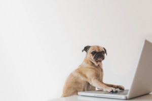business-pug-working-on-laptop